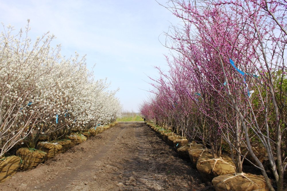 This image of balled-and-burlapped serviceberries and redbuds illustrates their bloom progression very well. The serviceberries (on the left) are in peak bloom and the redbuds (on the right) are beginning to bloom. Rows of individual species like this create very compelling corridors for your bees to forage. Remember, they will stick to on type of tree till the flowering period ends - so formal rows or more naturalized groupings of trees will allow the bees to collect nectar and pollen without extra energy spend on traveling far distances: Source of image   here