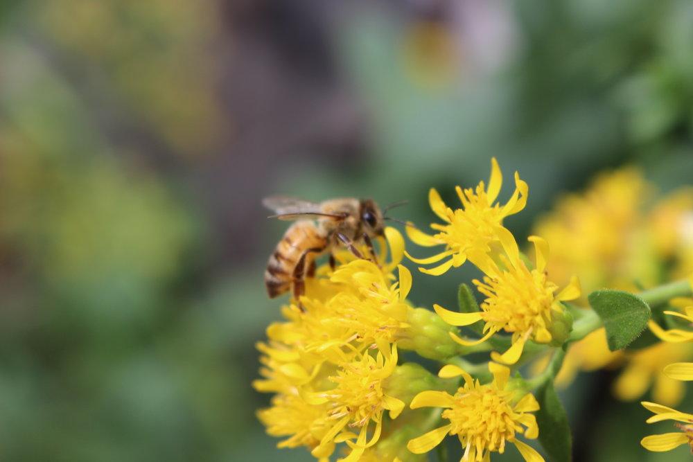 Stiff goldenrod: Photo by Mackenzie