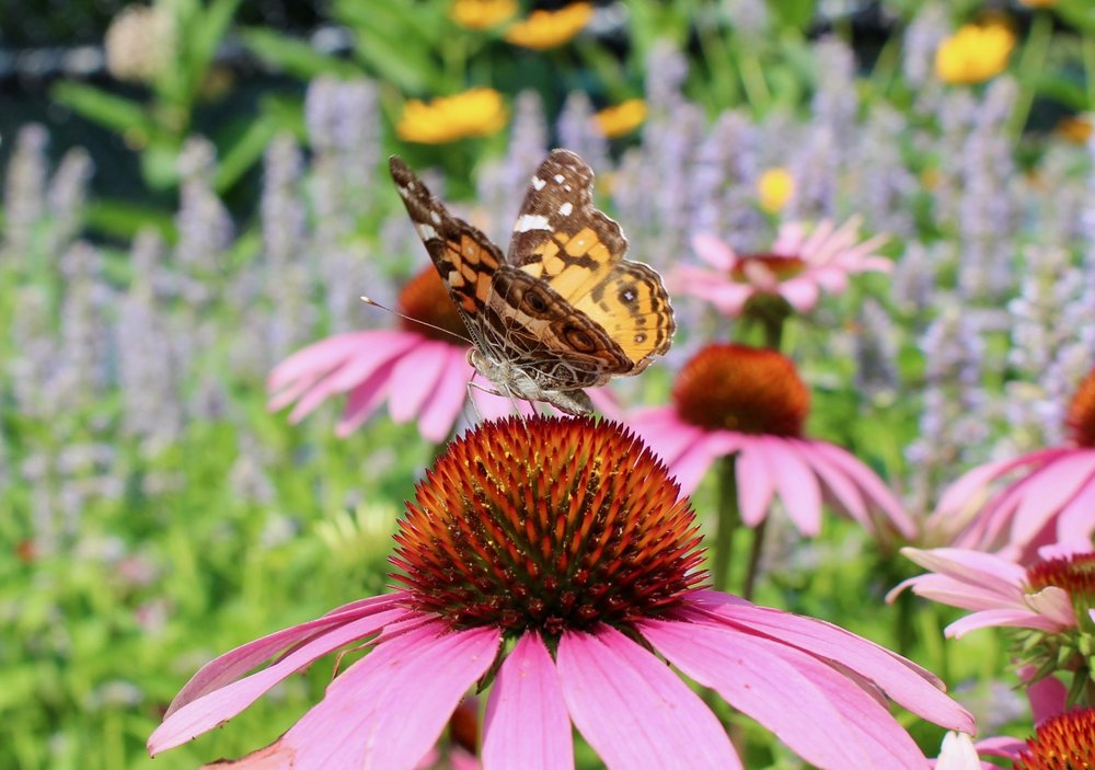 Native plants like this coneflower from the pollinator garden attract scores of butterflies.