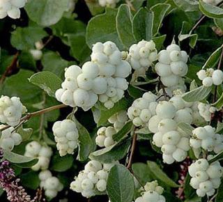 snowberry white.jpg