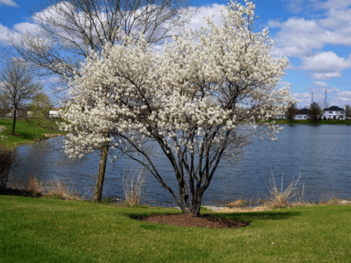 Service berry amelanchier species native ny amelanchier in bloom thecheapjerseys Image collections
