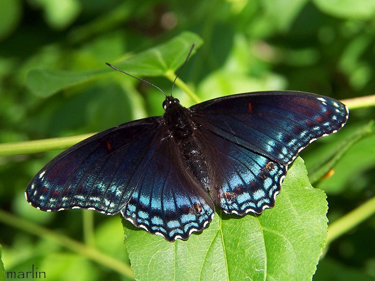 Purple Spotted Blue butterfly