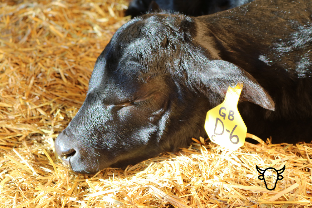 A sleeping Banana.   It is not very often you can catch a calf dozing!