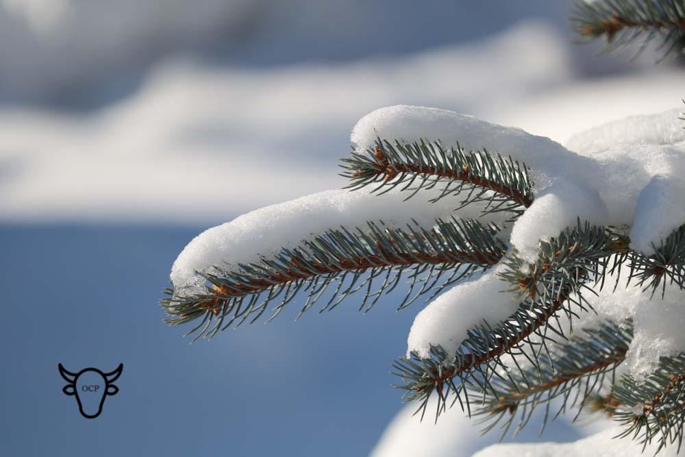 blue spruce snow.jpg