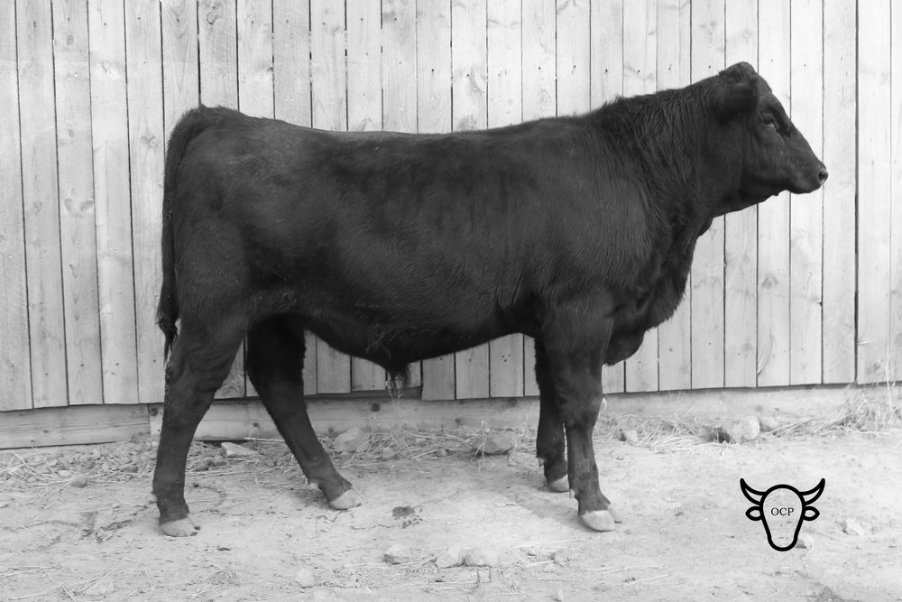 Treasure Bull Test lot 84 is GB Calvin Fury. He is a great blend of Quaker's growth and Millie's refined looks.