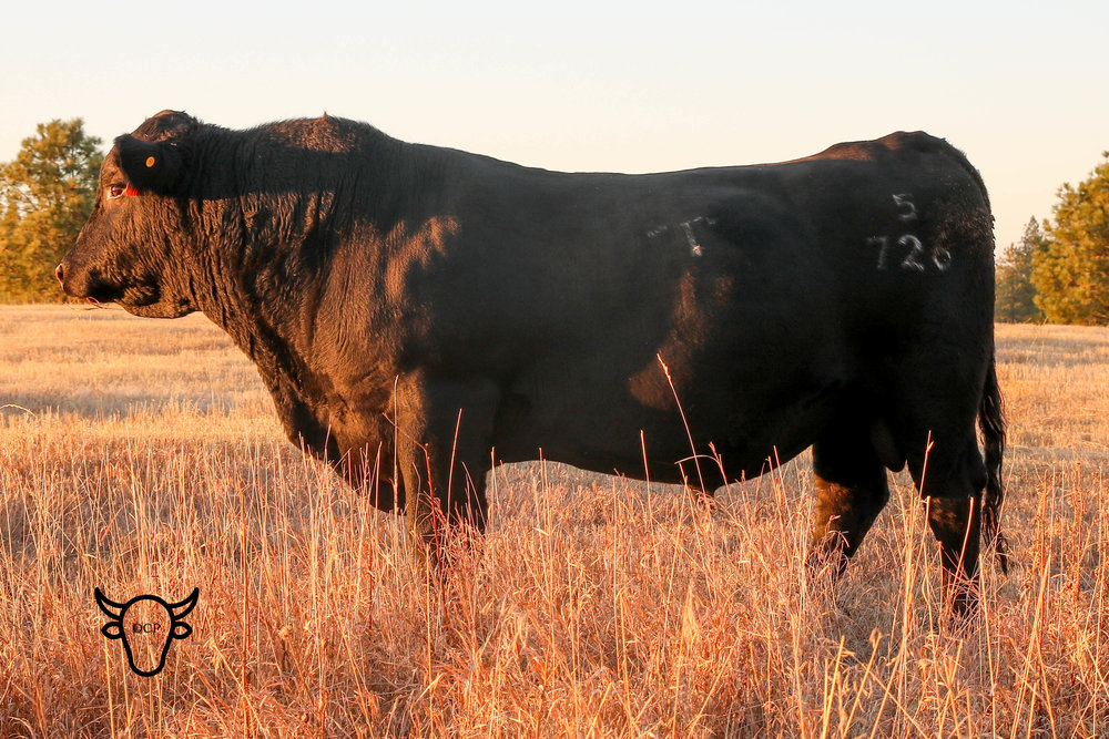 This Fall 2018 picture of Quaker, Thomas Rampage 5726 son of Quaker Hill Rampage, shows off his wonderful structure. He has matured into a wonderful three year old with a bright future. Click for his calves. -