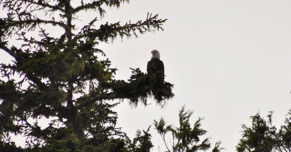 Bald Eagle Pacific Rim National Park.