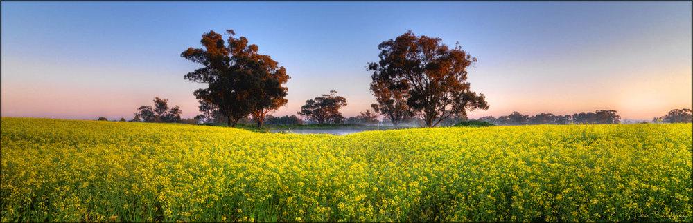 Canola---Temora---NSW-(PBH3-00-23313).jpg