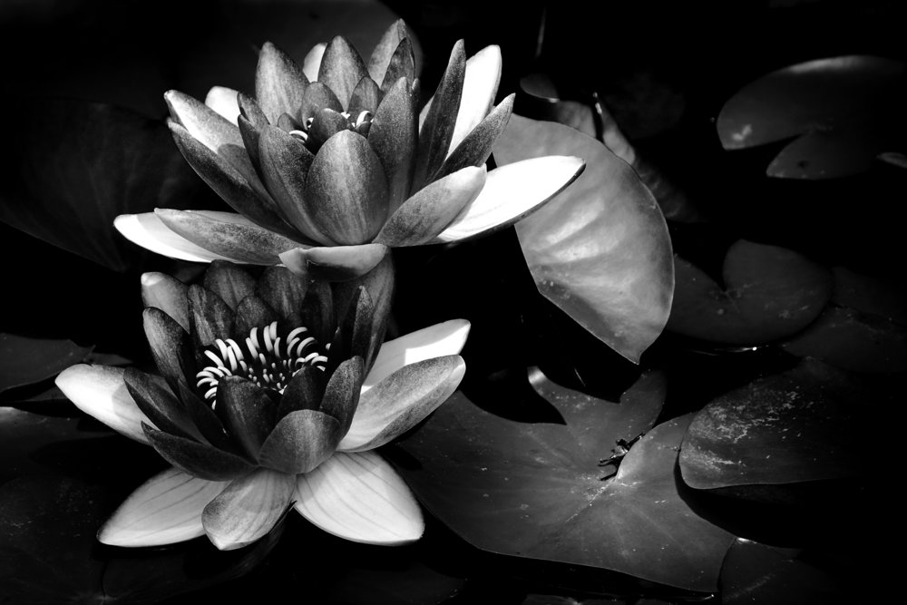 Waterlily; Absent of Color