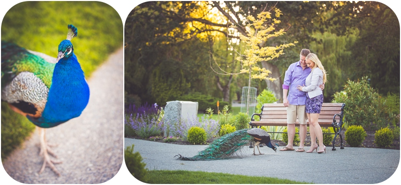 engaged couple feeds peacock during romantic engagement photos at beacon hill park victoria bc