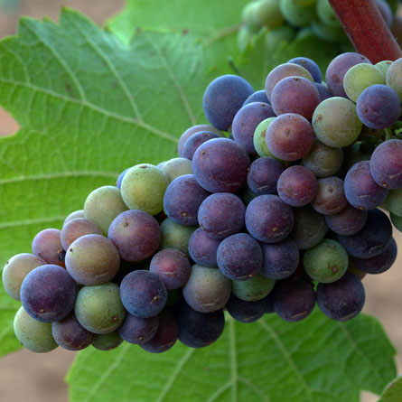 grapes_445x445.jpg