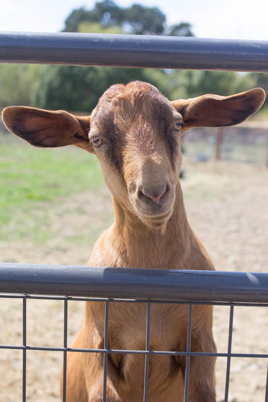 sonoma broadway farm goat