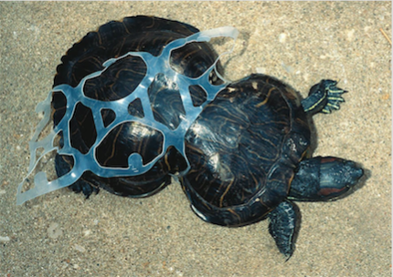 Tortoise stuck in plastic, causing it to grow abnormally.