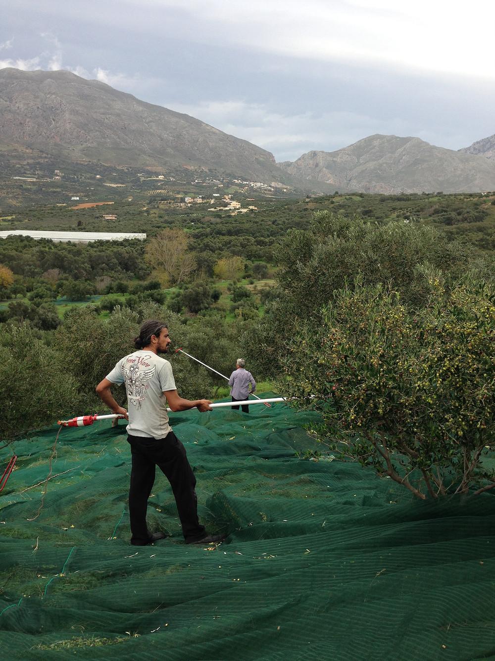 olive men