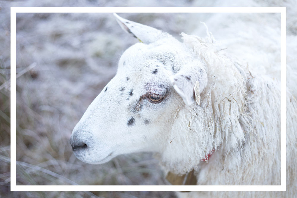 SUSTAINABILITY - At Norlender we feel privileged to work with a natural and sustainable fibre such as wool. Our spinners follow strict eco guidelines within their production and procurement chain. Norlender is, together with its partners, working towards producing environmentally friendly knitwear.