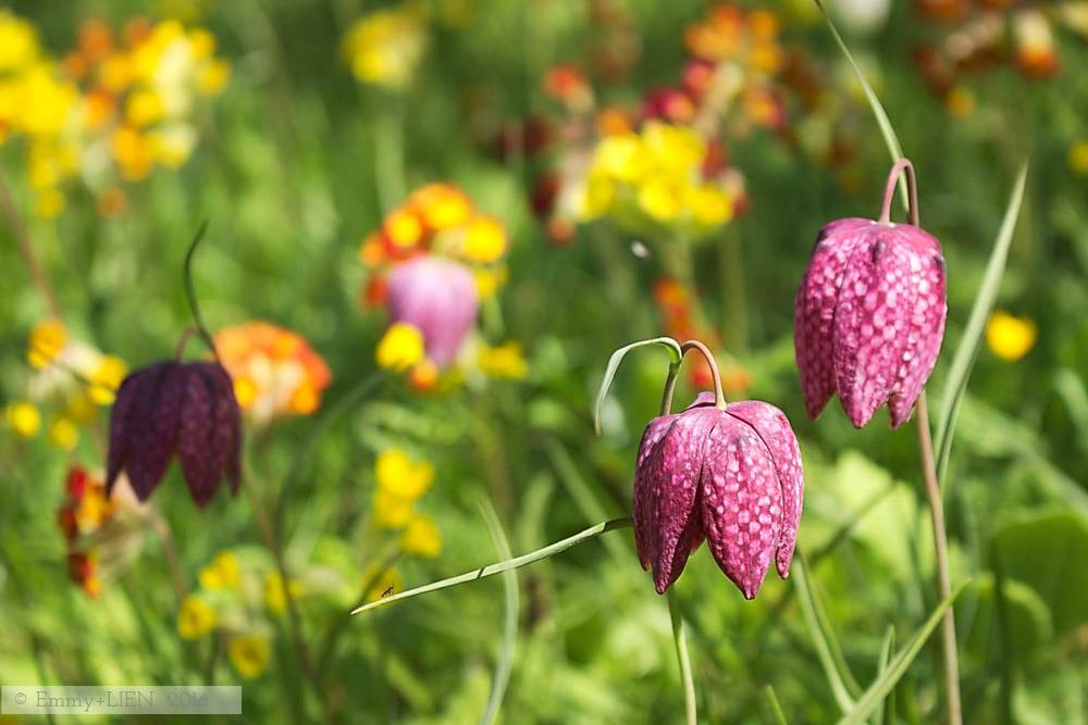Fritillaries and other meadow flowers in May