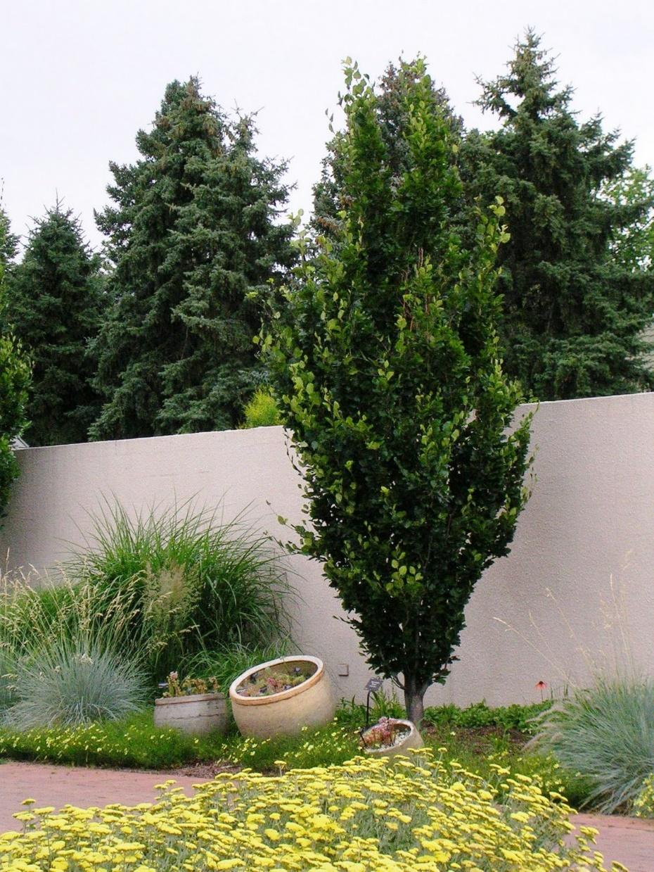Columnar English Oak