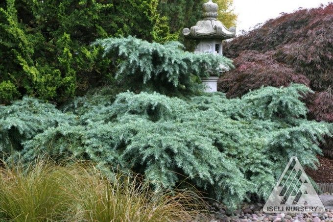 Deodara Cedar 'Prostrate Beauty'