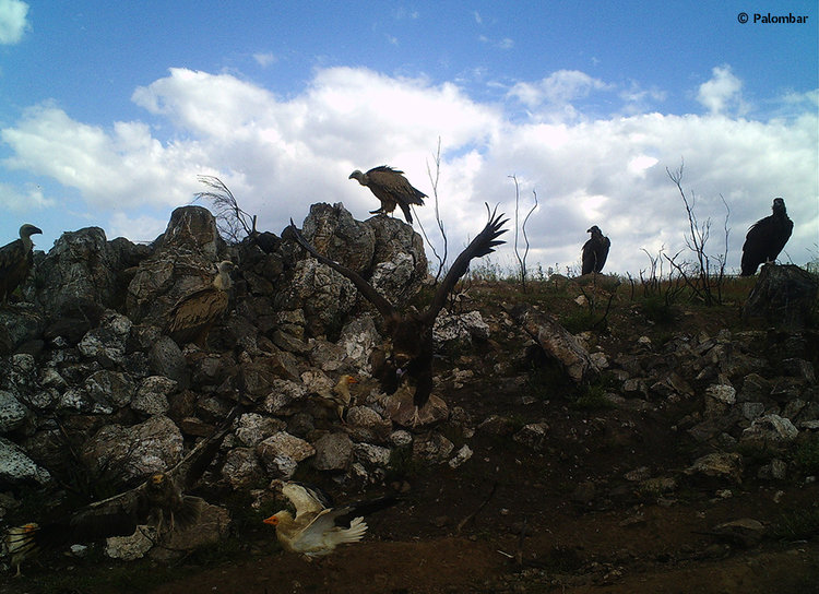 3 abutres-negros, 4 britangos e alguns grifos em alimentação no CAAN de Mogadouro