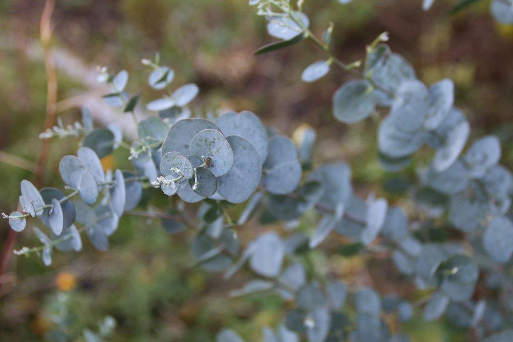 eucalyptus-771994.jpg