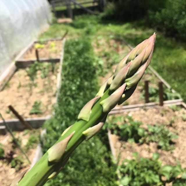 "Accepting applications through the month of May (link in bio)! Come eat ""fresh as fresh can get"" food with us this summer during the Odyssey Fellowship! #odysseyfellowship  @the.eco.institute #ecoinstitute #sustainableliving #gardening #chapelhill #northcarolina #asparagus #freshfood #foodismedicine #sustainableeating #farmtotable"