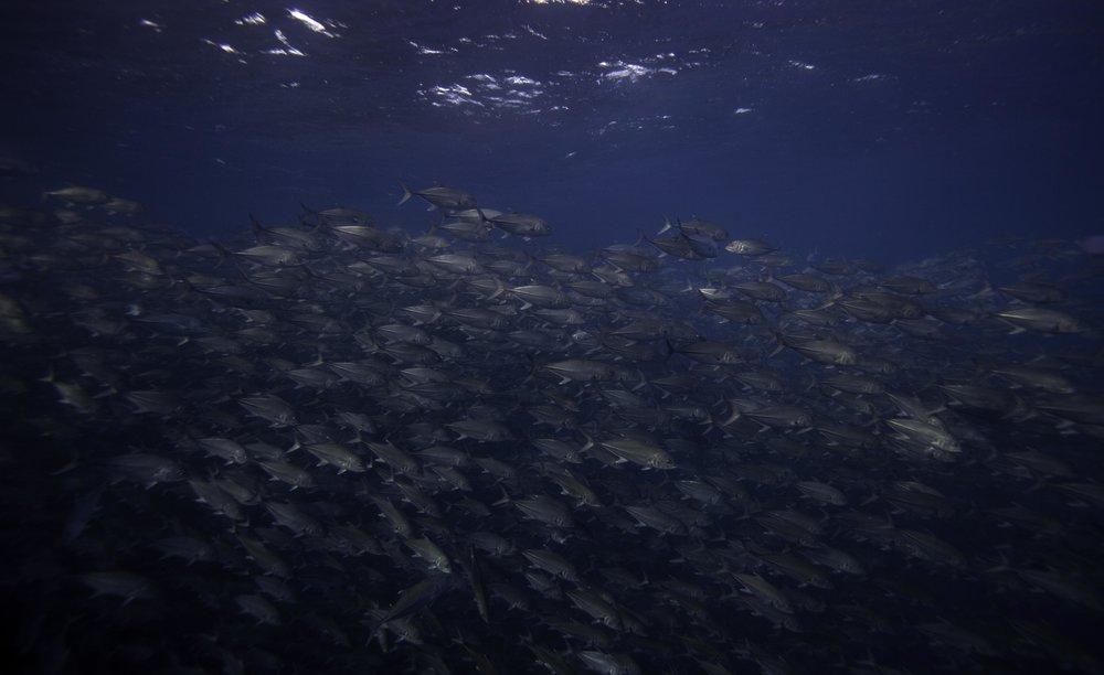 Blue Jack fish