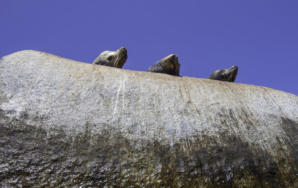 Sea Lions - The Three Amigos
