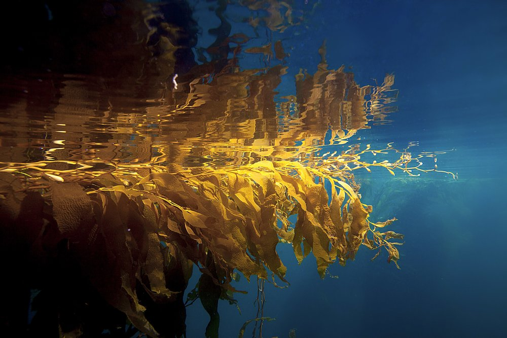 Kelp_GoldenReflection_California.jpg