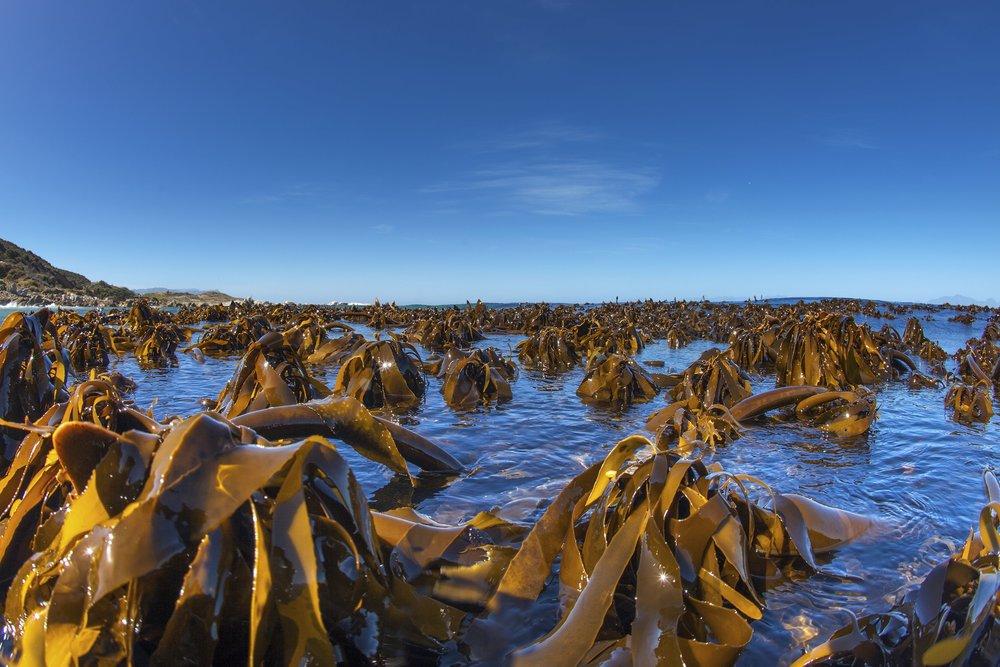 Kelp_BlueSkyForest_CapeTown.jpg