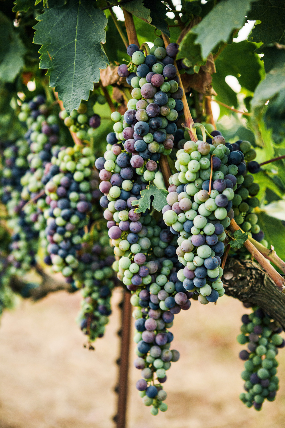 19. RS - vineyard ceremony, napa wedding, summer wedding, destination wedding, vineyard grapes.jpg