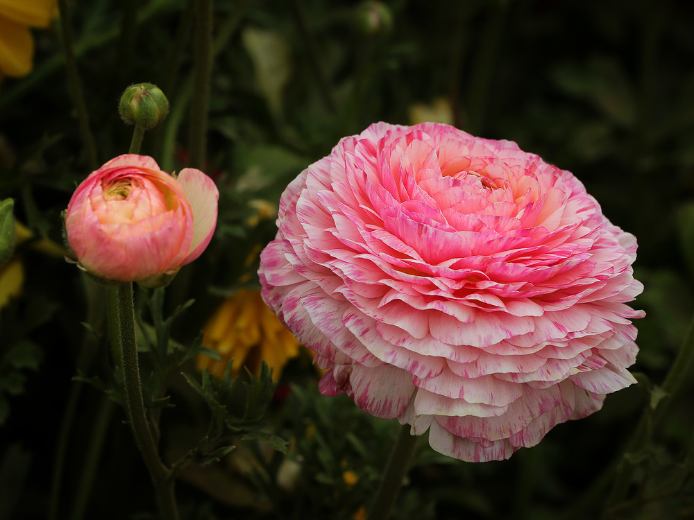 ranunculus at the flower fields in carlsbad, california