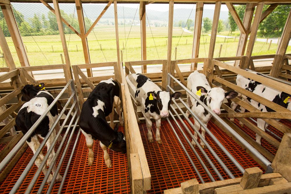 calves in stalls.jpg