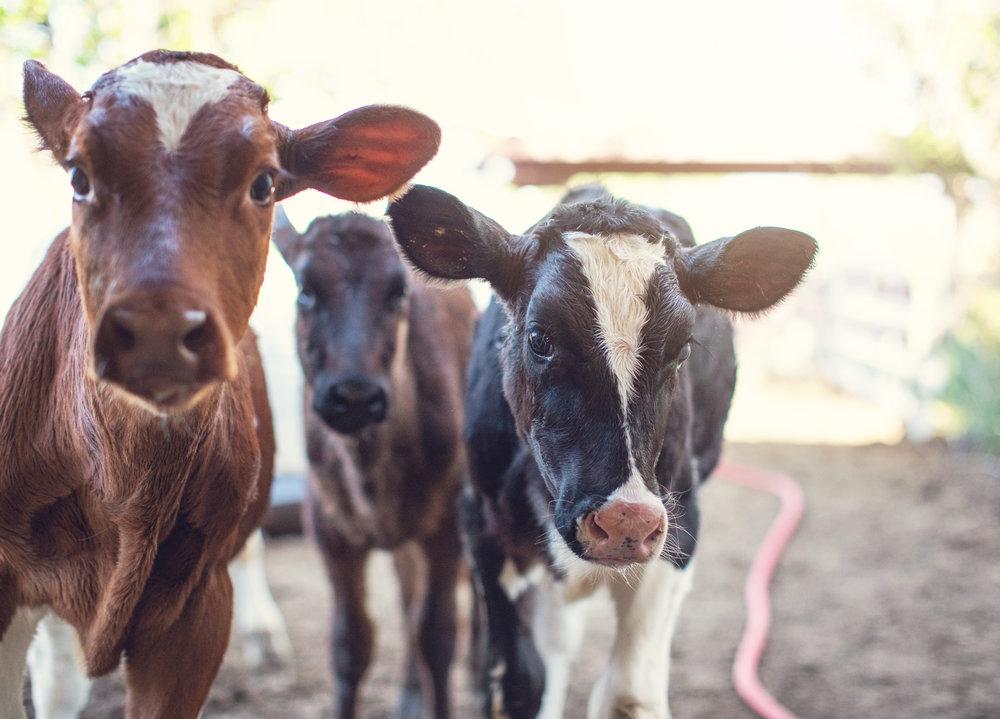 three veal calves.jpg