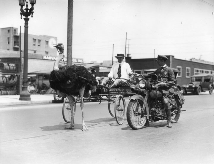 Unknownyear: 2922 Pico near Harvard Blvd. A man with an ostrich drawn cart receives a traffic ticket from a motorycle policeman at 2922 W. Pico Blvd., near Harvard. The cart shows a sign reading: Los Angeles Ostrich [Farm is obscured)]