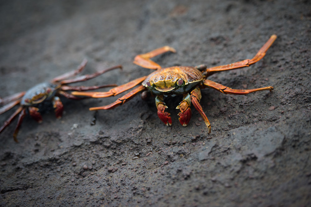 Sally Light-Foot Crabs, Tagus Cove, Isabela Island, Galapagos