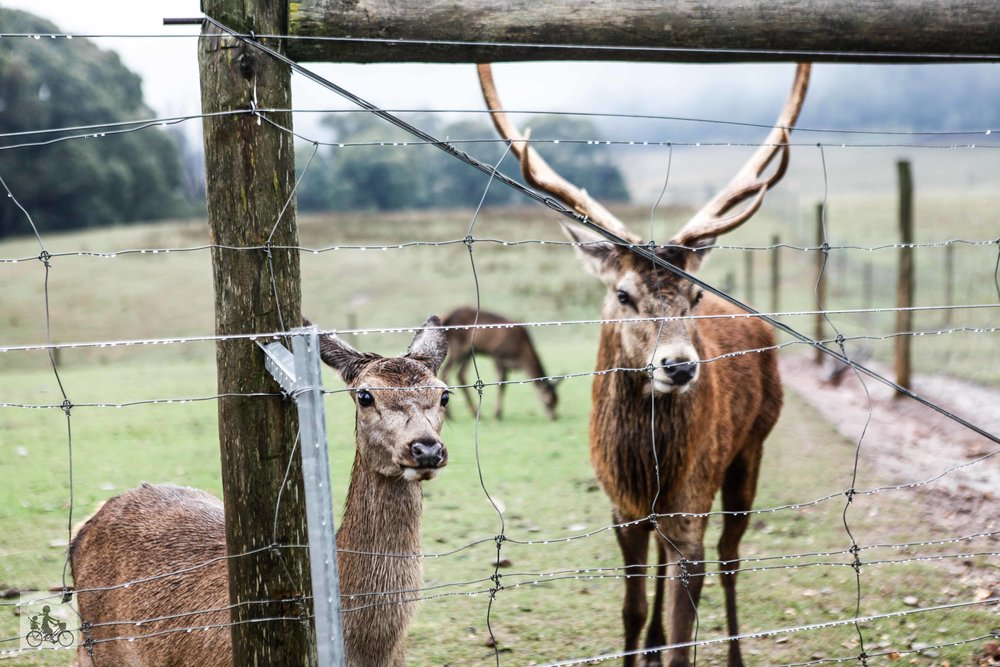 Mamma Knows East - Red Stag Deer and Emu Farm Eurobin