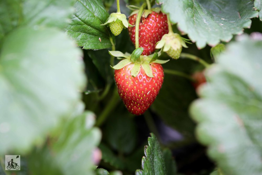 Mamma Knows East - Farmers Pick Strawberries Coldstream (12 of 41).jpg