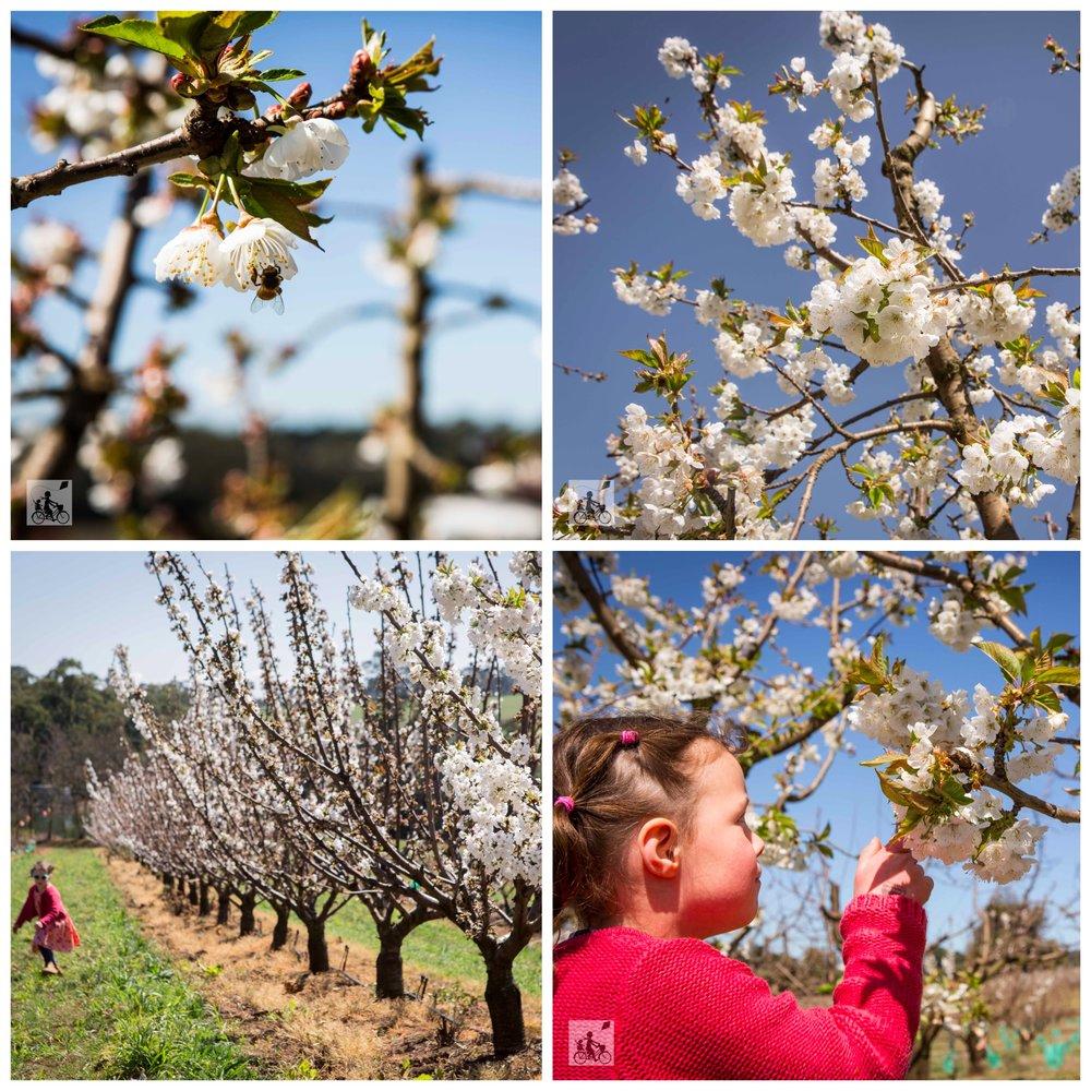 01 CherryHill blossom festival - Mamma Knows East (1 of 35).jpg