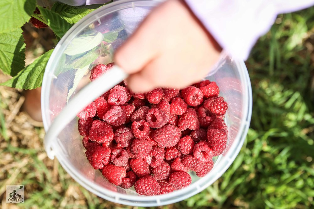 Raspberry Picking at Lavendar Farm Wandin - Mamma Knows East (26 of 38).jpg