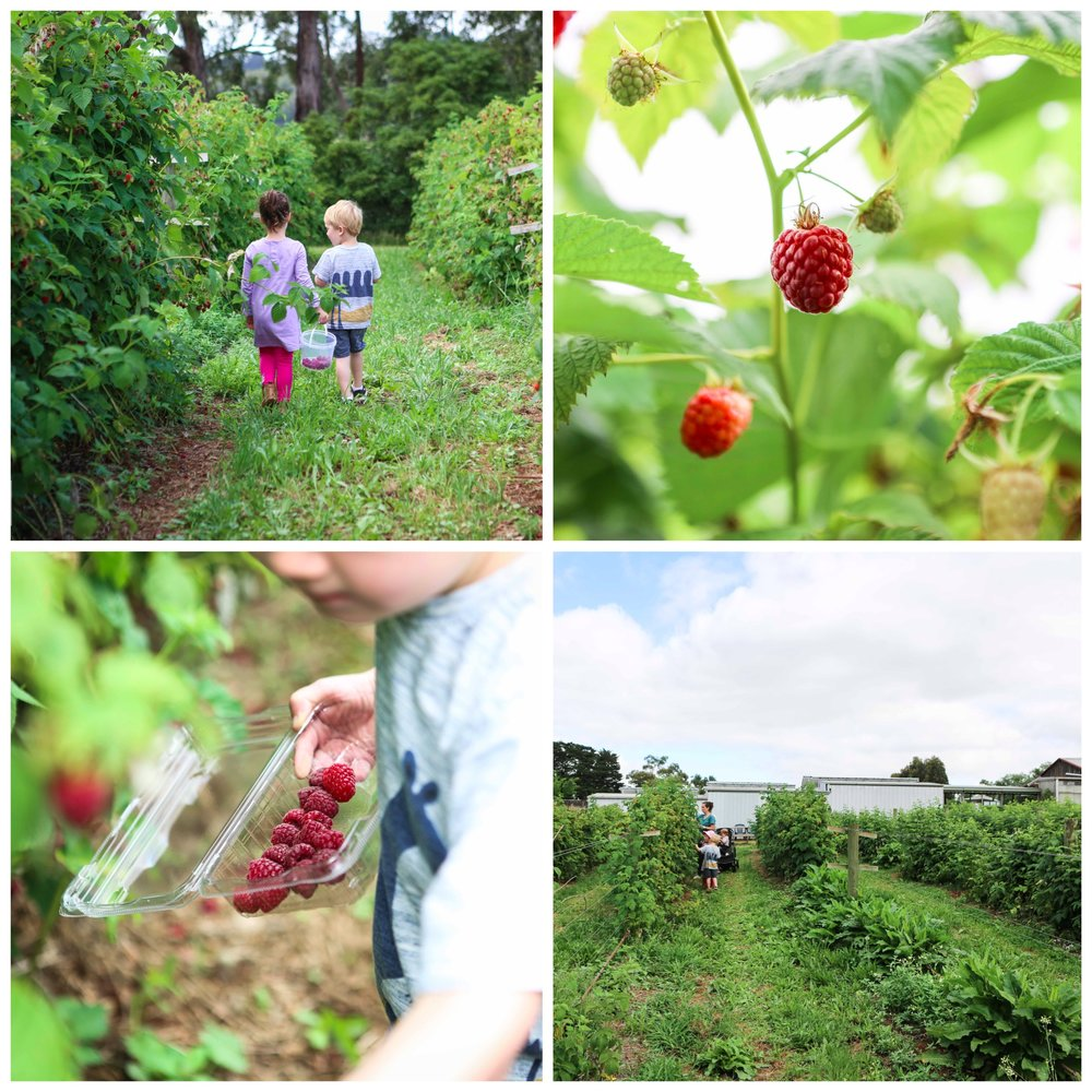 02 Raspberry Picking at Lavendar Farm Wandin - Mamma Knows East (1 of 38).jpg