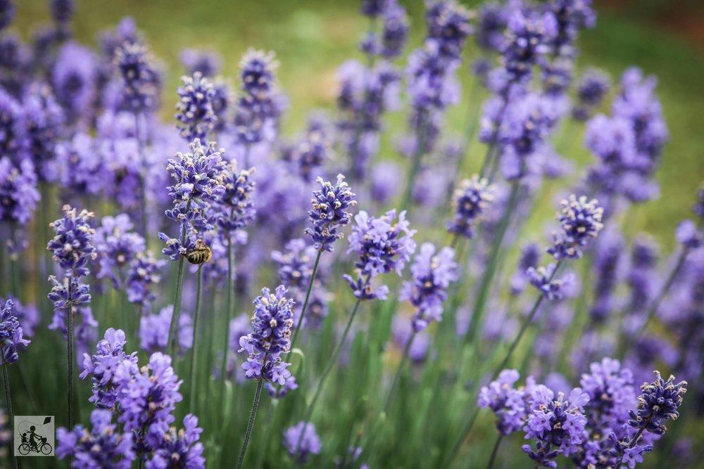 Warratina Lavender Farm Wandin - Mamma Knows East (12 of 62).jpg