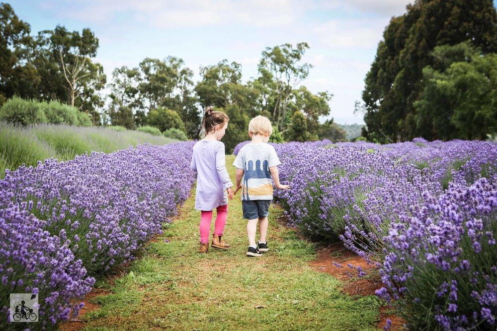 Warratina Lavender Farm Wandin - Mamma Knows East (5 of 62).jpg