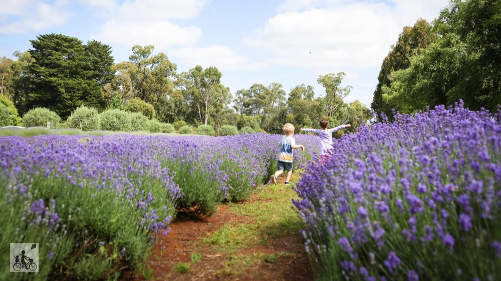 Warratina+Lavender+Farm+Wandin+-+Mamma+Knows+East+%2848+of+62%29.jpg