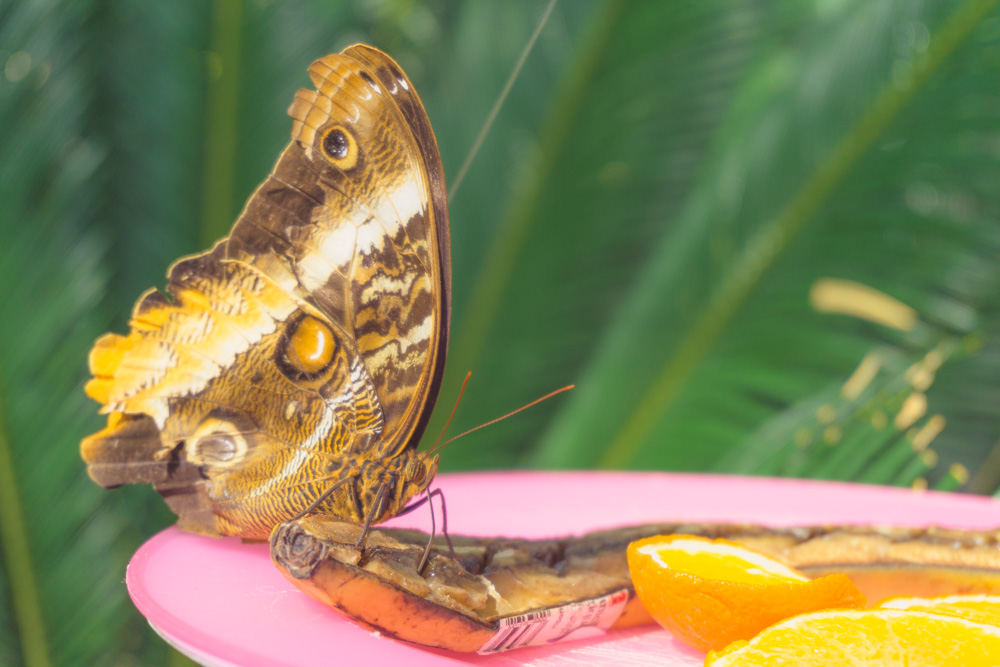 Cambridge Butterfly Conservatory | A Butterfly Snacking on Organic Banana