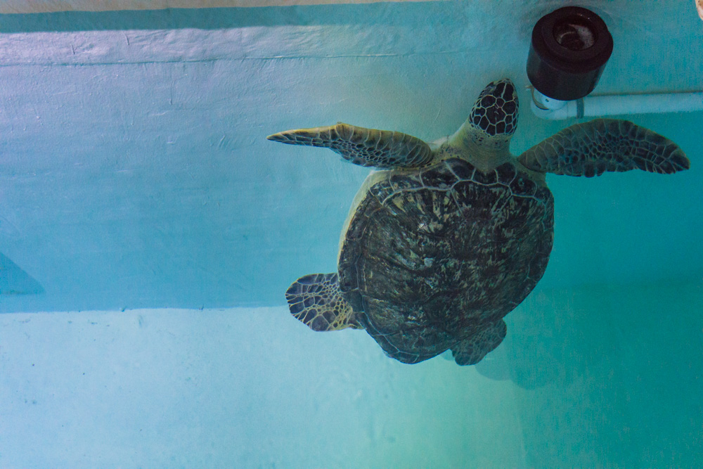 Clearwater Marine Aquarium | Turtle
