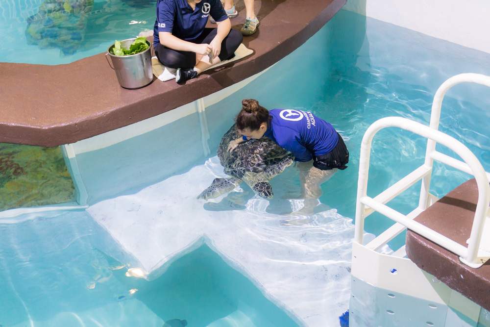 Clearwater Marine Aquarium |Blind Turtle