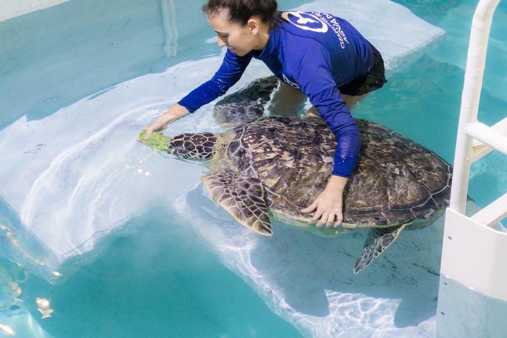 Clearwater Marine Aquarium |Sea Turtle Feeding