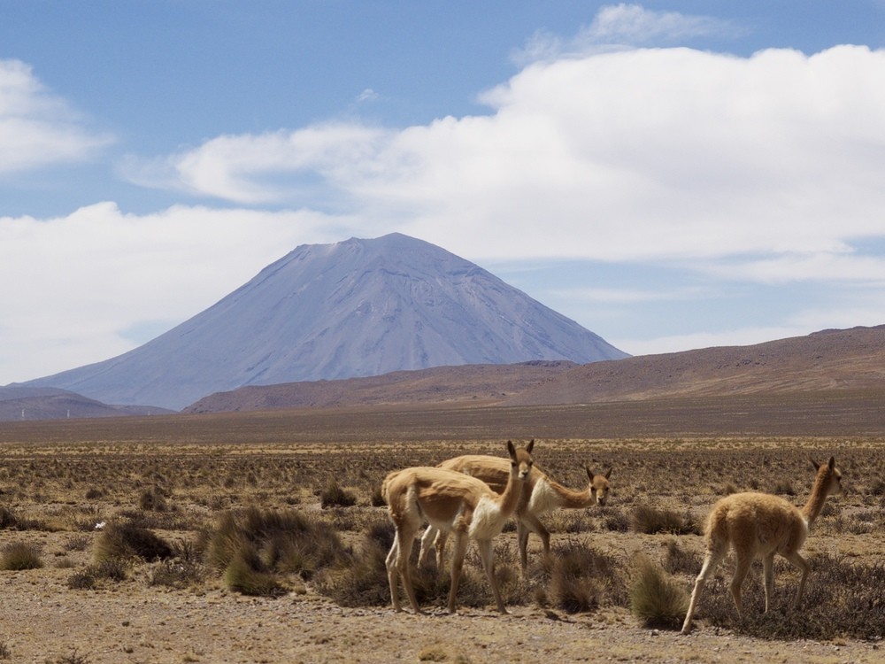 Wild vicuna and El Misti.