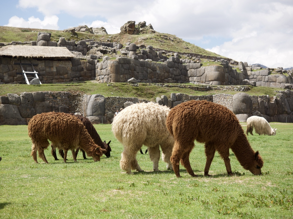 Llamas grazing at Sacsayhuaman.
