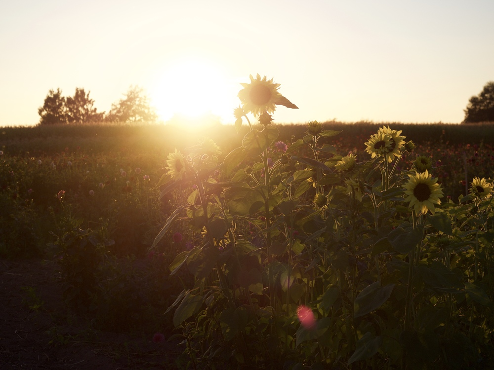 Skagit Valley sunflowers on a warm summer evening.